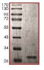 SDS-PAGE - Recombinant Human N6AMT2 protein (ab136345)