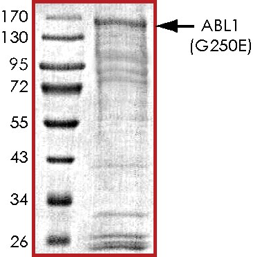 SDS-PAGE - Recombinant human ABL1 (G250E) protein (ab136358)
