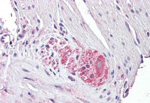 Immunohistochemistry (Formalin/PFA-fixed paraffin-embedded sections) - Anti-Netrin 4 antibody (ab136663)