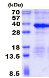 SDS-PAGE - Recombinant Human MAGP1 protein (denatured) (ab136704)