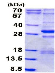 SDS-PAGE - Recombinant Human NDUFS3 protein (ab136706)