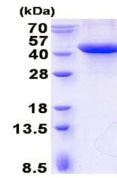 SDS-PAGE - Recombinant Human Erlin-2 protein (denatured) (ab136707)