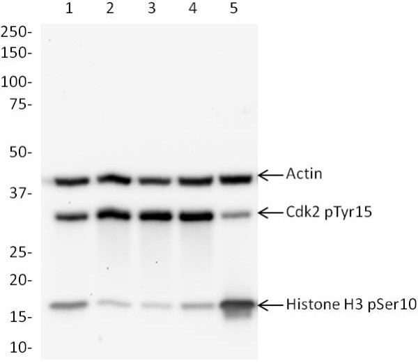 Western blot – ab136810 Cell Cycle Western Blot Cocktail