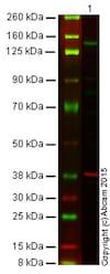 Western blot - Anti-iNOS antibody [K13-A] (ab136918)