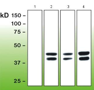Western blot - Anti-Erk1 (pT202/pY204) + Erk2 (pT185/pY187) antibody [G15-B] (ab136926)