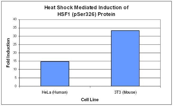 Heat shock induction of HSF1 (PSer326) protein.