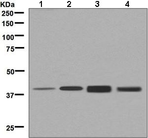 Western blot - Anti-SEC14L2/TAP antibody [EPR8612] (ab137013)