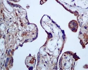 Immunohistochemistry (Formalin/PFA-fixed paraffin-embedded sections) - Anti-Calumenin antibody [EPR9075] (ab137019)