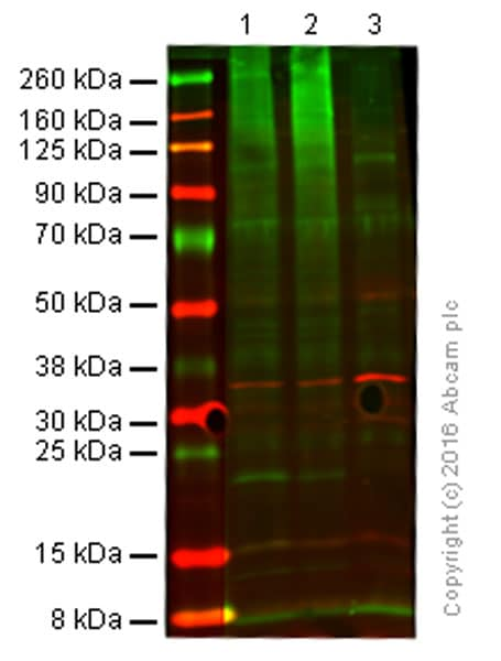 Western blot - Anti-Ubiquitin antibody [EPR8590] (ab137025)