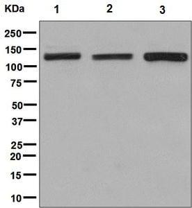 Western blot - Anti-POLR3B antibody [EPR8719] (ab137030)