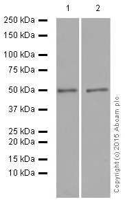 Western blot - Anti-HMGCS2 antibody [EPR8642] (ab137043)