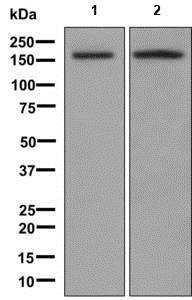 Western blot - Anti-Caspr2/CNTNAP2 antibody [EPR8738] (ab137052)