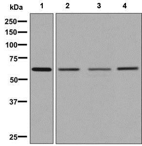 Western blot - Anti-ZNF703 antibody [EPR9050] (ab137054)