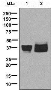 Western blot - Anti-ATP1B3 antibody [EPR8981] (ab137055)