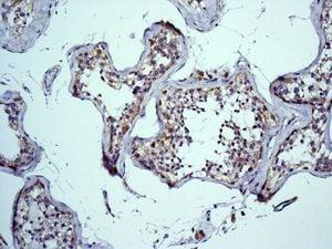 Immunohistochemistry (Formalin/PFA-fixed paraffin-embedded sections) - Anti-Mitofilin antibody [EPR8749] (ab137057)