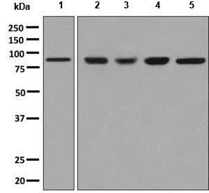 Western blot - Anti-Mitofilin antibody [EPR8749] (ab137057)