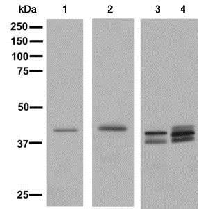Western blot - Anti-TTF1 antibody [EPR8190-138] (ab137061)