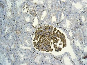 Immunohistochemistry (Formalin/PFA-fixed paraffin-embedded sections) - Anti-MYL12B antibody [EPR9331] (ab137063)