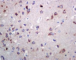 Immunohistochemistry (Formalin/PFA-fixed paraffin-embedded sections) - Anti-Ndufs4 antibody [EP7832] (ab137064)