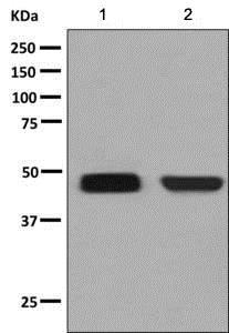 Western blot - Anti-MAPK11 antibody [EPR6526(2)] (ab137066)