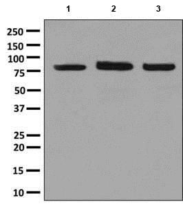 Western blot - Anti-ALDH16A1 antibody [EPR9216] (ab137073)