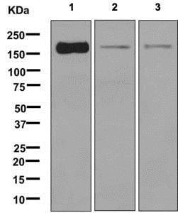 Western blot - Anti-BAT3/BAG-6 antibody [EPR9223] (ab137076)
