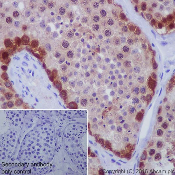Immunohistochemistry (Formalin/PFA-fixed paraffin-embedded sections) - Anti-BAT3/BAG-6 antibody [EPR9223] (ab137076)