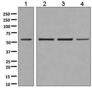 Western blot - Anti-BAF57/SMARCE1 antibody [EPR8849] - ChIP Grade (ab137081)
