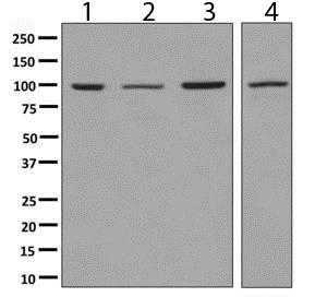 Western blot - Anti-GRAF antibody [EPR8252] (ab137085)