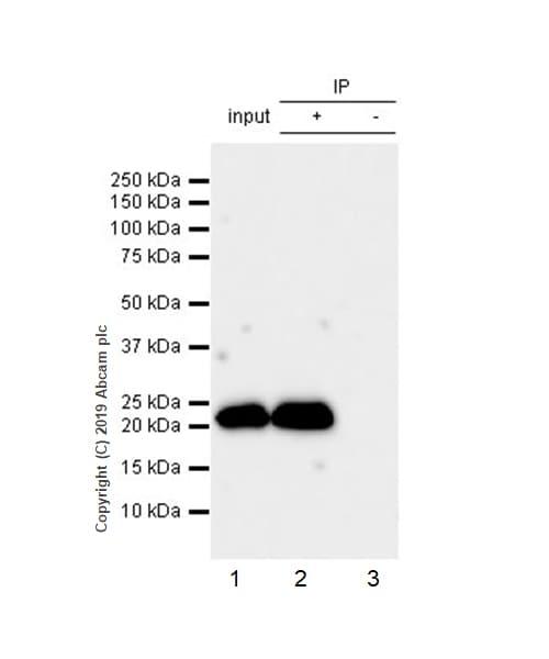 Immunoprecipitation - Anti-RAB22A antibody [EPR9486] (ab137093)