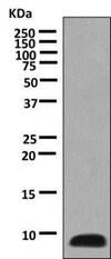Western blot - Anti-COX7B antibody [EPR9327(B)] (ab137094)