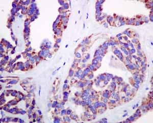 Immunohistochemistry (Formalin/PFA-fixed paraffin-embedded sections) - Anti-COX7B antibody [EPR9327(B)] (ab137094)