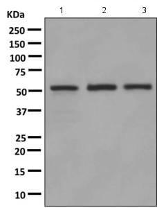 Western blot - Anti-IMPDH1 antibody [EPR9679(B)] (ab137112)