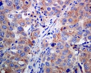 Immunohistochemistry (Formalin/PFA-fixed paraffin-embedded sections) - Anti-BIVM antibody [EPR9109] (ab137113)