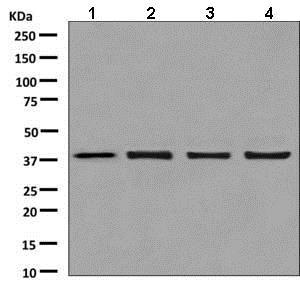 Western blot - Anti-mH2A1 antibody [EPR9358] (ab137117)