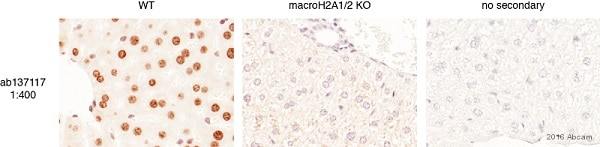 Immunohistochemistry (Formalin/PFA-fixed paraffin-embedded sections) - Anti-mH2A1 antibody [EPR9358] (ab137117)