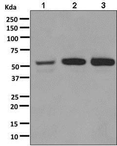 Western blot - Anti-alpha 1a Adrenergic Receptor/ADRA1A antibody [EPR9691(B)] (ab137123)