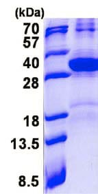 SDS-PAGE - Recombinant Human HES7 protein (denatured) (ab137139)