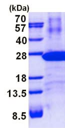 SDS-PAGE - Recombinant Human Proteasome 20S LMP7 protein (denatured) (ab137150)