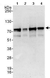 Western blot - Anti-BRD9 antibody (ab137245)