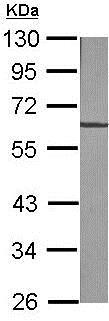 免疫印迹-抗波形蛋白抗体(ab137321)