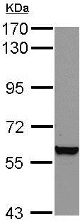 Western blot - Anti-Vimentin antibody (ab137321)