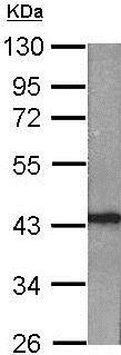 Western blot - Anti-Rad51 antibody (ab137323)