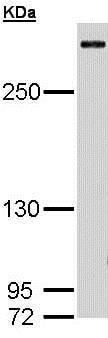 Western blot - Anti-CREBBP antibody (ab137334)