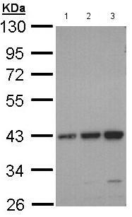 Western blot - Anti-CCR6 antibody - N-terminal (ab137369)