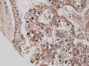 Immunohistochemistry (Formalin/PFA-fixed paraffin-embedded sections) - Anti-Cannabinoid Receptor I antibody (ab137410)