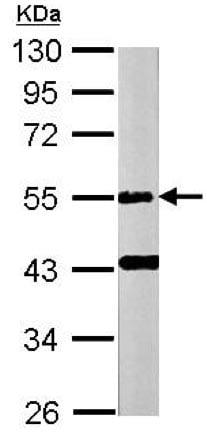 Western blot - Anti-E2F1 antibody (ab137415)