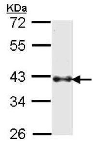 Western blot - Anti-Bmi1 antibody (ab137416)