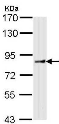 Western blot - Anti-Cullin 4A/CUL-4A antibody (ab137418)
