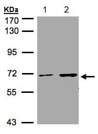 Western blot - Anti-CDYL antibody (ab137423)